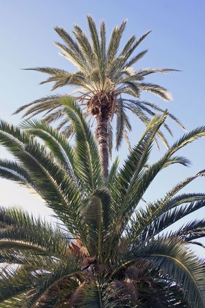 two palmtrees against blue sky