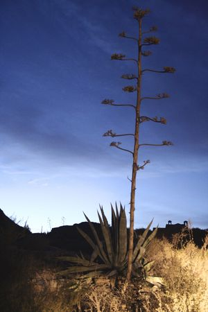 Aloe vera with flower against a night sky with background silhouettes Stock Photo