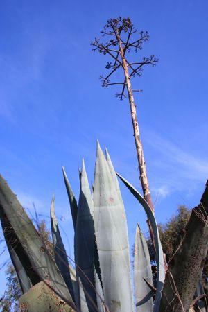 Aloe vera with flower against a blue sky