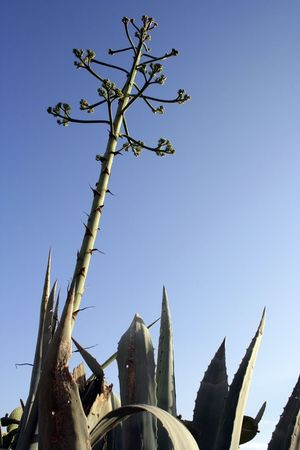 Aloe vera with big flower against a blue sky