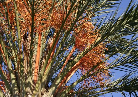 Palm tree with orange fruits, against a clear blue sky