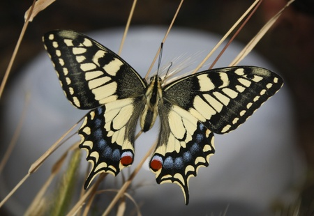 swallowtails: swallowtail butterfly in his natural habitat