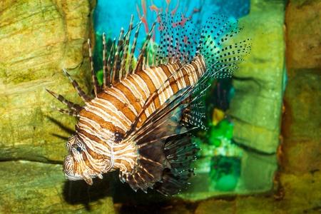 pterois: Lionfish (Pterois volitans) in the aquarium on a decorative background