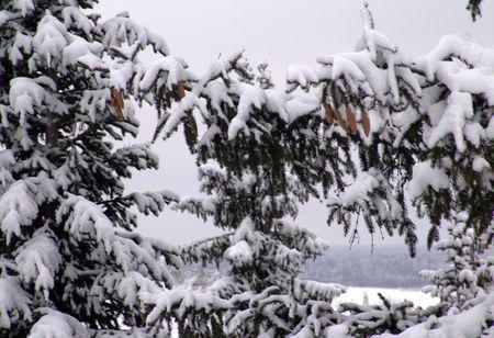 frost fir Stock Photo - 283758