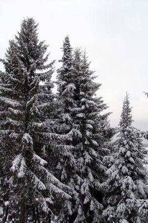 frost fir forest Stock Photo - 283753