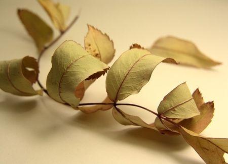 lamellar: leaf of mountain ash Stock Photo