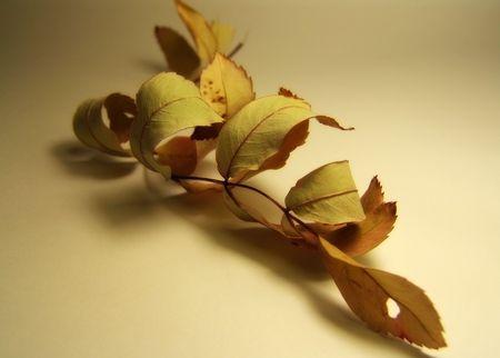 dried leaf of mountain ash photo