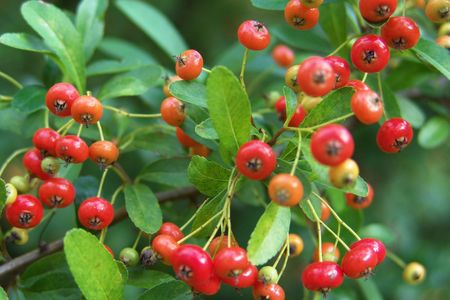bacca: macro of red berry