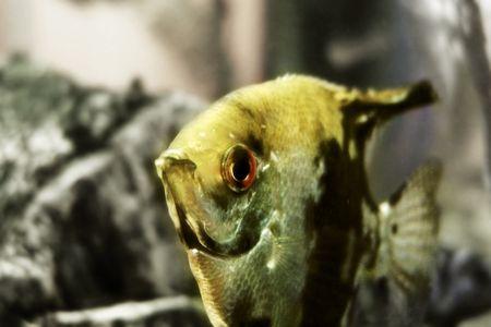 aquarium golden fish photo