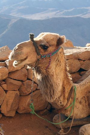 wilds: The camel smiles. Portrait of a camel on a background of mountains Stock Photo