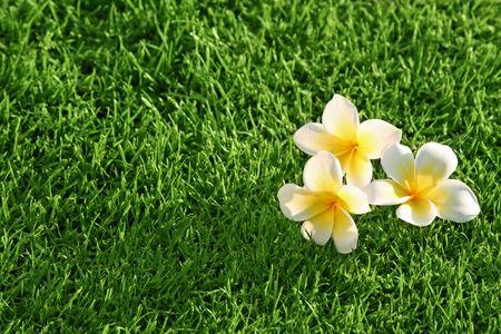 grass background & flowers. Plumeria on the Grass  photo