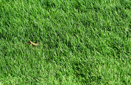 Fresh green grass. Ideally for your use photo