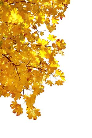 senescence: Branch of autumn leaves on white background  Stock Photo