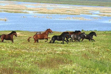 horses on the meadow  landscape photo