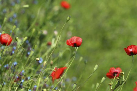 Poppy Field / Meadow  Flowers / summer background Stock Photo - 4310126