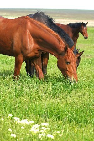 three horses are grazed on a meadow photo