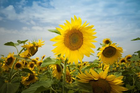 sunflowers under a blue sky / summer Stock Photo - 5124462