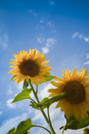 sunflowers under a blue sky / summer Stock Photo - 5168640