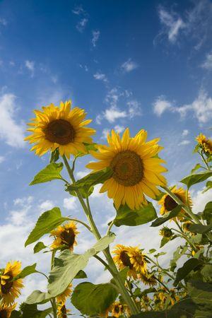 sunflowers under a blue sky  summer photo
