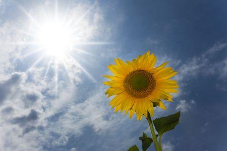 sunflower under a blue sky / summer Stock Photo - 5168638