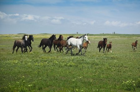 Horses Running  blue sky and green grass photo