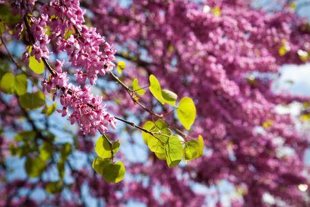 xxxl: XXXL size  lilac tree