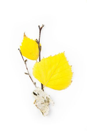 Autumn Birch Leaves  Beautiful Composition  isolated on white photo