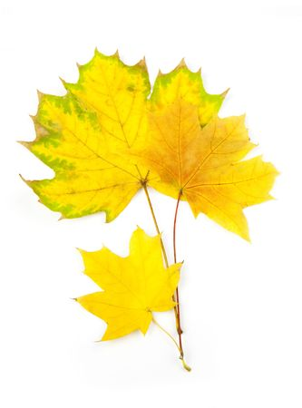 Autumn Maple Leaves  isolated on white photo