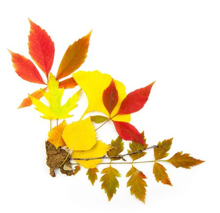 Autumn frame corner  beautiful real leaves  isolated on white