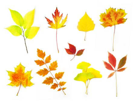 Different Autumn Leaves   XXLarge size  isolated on white photo