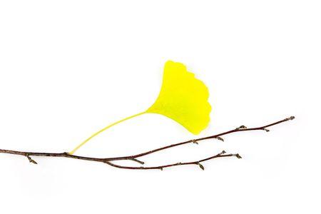 Autumn Ginkgo Biloba leaves  Beautiful Composition  isolated on white photo