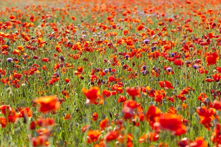 Summer Meadow  Poppy Field  nature background or wallpaper photo