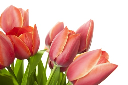 Fresh Beautiful Tulips  isolated on white  horizontal with copy space photo