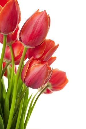 Tulipanes hermosos frescos aislados en blanco  vertical con espacio de copia
