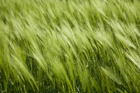 green wheat and windy weather  summer field   background photo