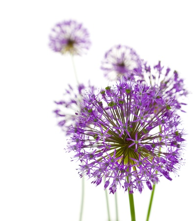 Beautiful Allium  abstract composition on white background photo