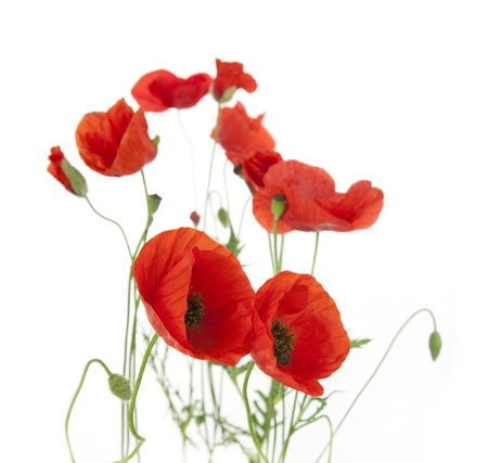 poppy leaf: Natural Fresh Poppies isolated on white background  focus on the foreground  floral border