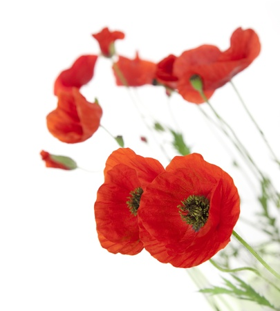 Natural Fresh Poppies isolated on white background / focus on the foreground / floral border Stock Photo - 10144022