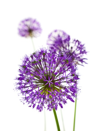 Allium flower: Beautiful Allium  abstract vertical composition on white background