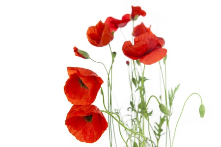 red poppies on green field: Poppies isolated on white background  focus on the foreground  floral border with copy space Stock Photo
