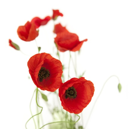 red poppies on green field: Natural Fresh Poppies isolated on white background  focus on the foreground  floral border