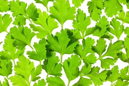 Fresh Parsley close-up background   back-lit Stock Photo - 12431830