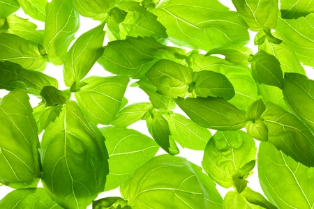 Fresh Basil Leaves close-up background / back-lit Stock Photo - 12795725