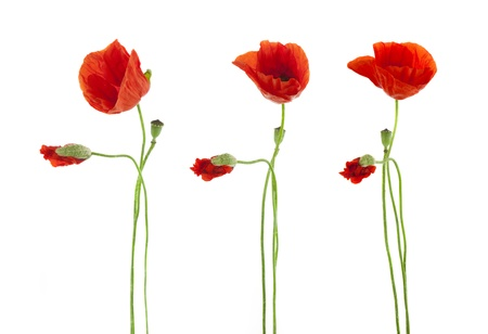 Trio of Red Poppies flowers isolated on white Stock Photo - 12819830