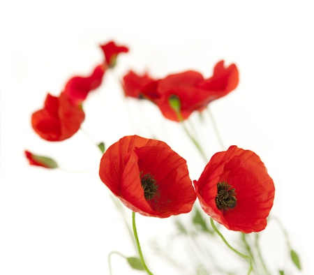 Natural Fresh Poppies isolated on white background / focus on the foreground / floral border photo