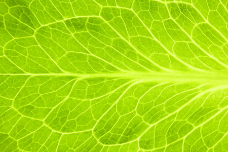 Fresh Green Leaf of Lettuce   Super Macro photo