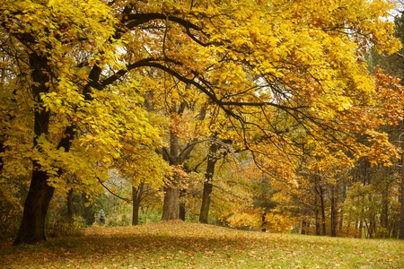 Autumn  Gold Trees in a park photo