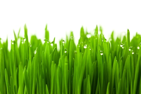 Fresh green wheat grass with drops dew  isolated on white with copy space photo