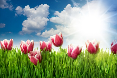Grass and Pink Tulip's Flowers against blue sky and sun  Stock Photo - 13507113