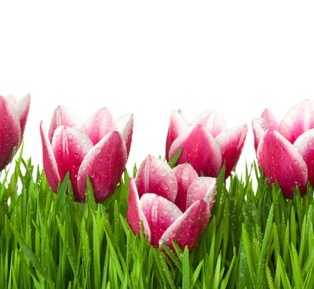 Fresh Tulips and green Grass with drops dew / isolated on white with copy space Stock Photo - 13507118